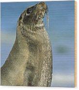 Galapagos Sea Lion Coral Beach Wood Print