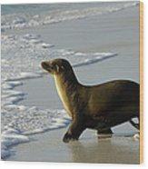 Galapagos Sea Lion In Gardner Bay Wood Print
