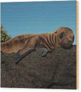 Galapagos Sea Lion Pup (zalophus Wood Print