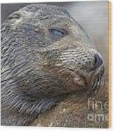 Galapagos Sea Lion Sleeping Wood Print