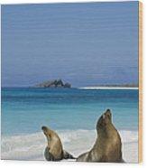 Galapagos Sea Lions On Beach Galapagos Wood Print