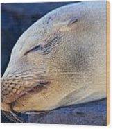Galapagos Sealion Wood Print