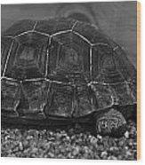 Galapagos Tortoise Baby Wood Print