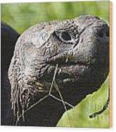 Galapagos Tortoise Galapagos Islands National Park Santa Cruz Island Wood Print