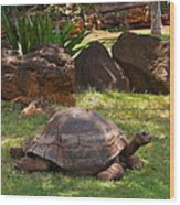 Galapagos Turtle At Honolulu Zoo Wood Print