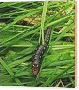 Gallium Sphinx Caterpillar Wood Print
