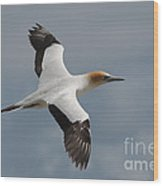 Gannet In Flight Wood Print