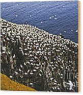 Gannets At Cape St. Mary's Ecological Bird Sanctuary Wood Print