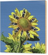 Garciacat Sunflower Wood Print