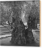 Garden Of Gethsemane Olive Tree Wood Print