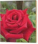 Garden Red Rose Wood Print