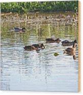 Gathering - Mallars Ducks In Creek Enkopingsaan  Wood Print