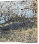 Gator Football Wood Print by Al Powell Photography USA