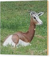 Gazelle At Rest 1 Wood Print