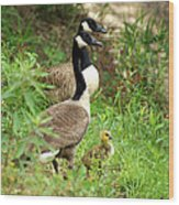 Geese And Gosling Wood Print