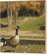 Geese Strolling In Park Wood Print