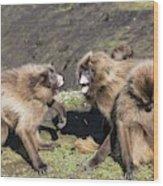 Gelada Baboons Threat Display Wood Print