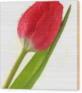 Gentle Tulip Wood Print