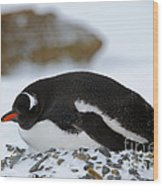 Gentoo Penguin On Nest Wood Print