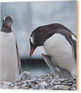 Gentoo Penguin With Chick Begging Wood Print