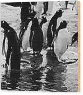 Gentoo Penguins On Rocky Shoreline On Port Lockroy Antarctica Wood Print