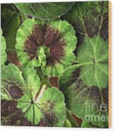 Geranium Leaves Wood Print