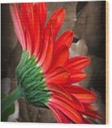 Gerber Daisy Bashful Red Wood Print