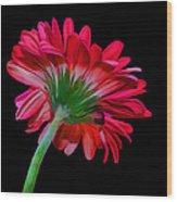 Gerber Daisy Wood Print by Hazel Billingsley