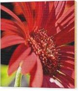 Gerber Daisy Shadows Wood Print