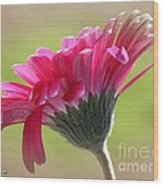 Gerbera Daisy Named Raspberry Picobello Wood Print