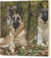 German Shepherd Dogs Wood Print
