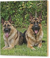 German Shepherds - Mother And Son Wood Print