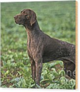 German Short-haired Pointer Wood Print