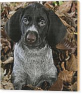 German Wire-haired Pointer Puppy Wood Print