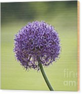 Giant Allium Flower Wood Print