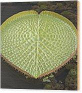 Giant Amazonian Water Lily Pads Closeup Wood Print