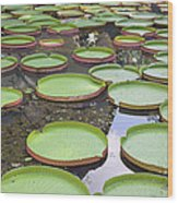 Giant Amazonian Water Lily Pads Wood Print