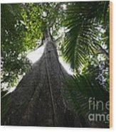Giant Cashew Tree Amazon Rainforest Brazil Wood Print