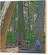 Giant Cedar Grove On Giant Cedars Trail In Mount Revelstoke Np-bc Wood Print