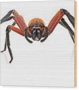 Giant Crab Spider Suriname Wood Print