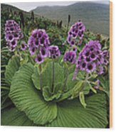 Giant Daisy In Full Bloom Campbell Wood Print