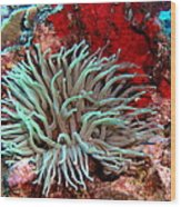 Giant Green Sea Anemone Against Red Coral Wood Print