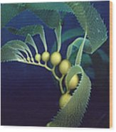Giant Kelp Macrocystis Pyrifera Detail Wood Print