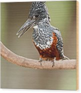 Giant Kingfisher Megaceryle Maxima Wood Print