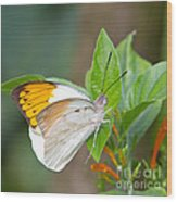 Giant Orange Tip Butterfly Wood Print