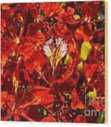 Giant Poinciana Blooms Wood Print