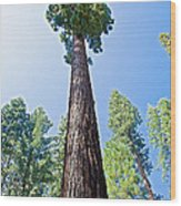 Giant Sequoia In Mariposa Grove In Yosemite National Park-california  Wood Print