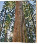 Giant Sequoia Trees Of Tuolumne Grove In Yosemite National Park. Wood Print