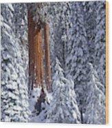 Giant Sequoia Trees Sequoiadendron Wood Print