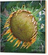 Giant Sunflower Drama Wood Print